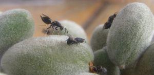 adultos de avispilla del almendro